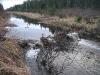 bäverdamm som dödar skogen